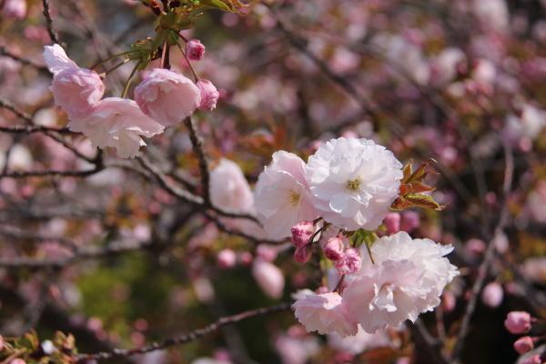 IMG_3634桜 2014桜 2014
