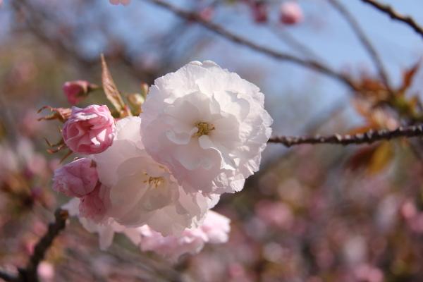 IMG_3635桜 2014桜 2014