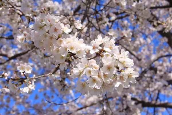 IMG_3566西宮の桜桜 2014