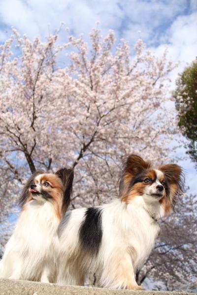 IMG_3594桜 2014桜 2014