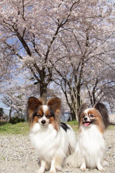 IMG_3599桜 2014桜 2014