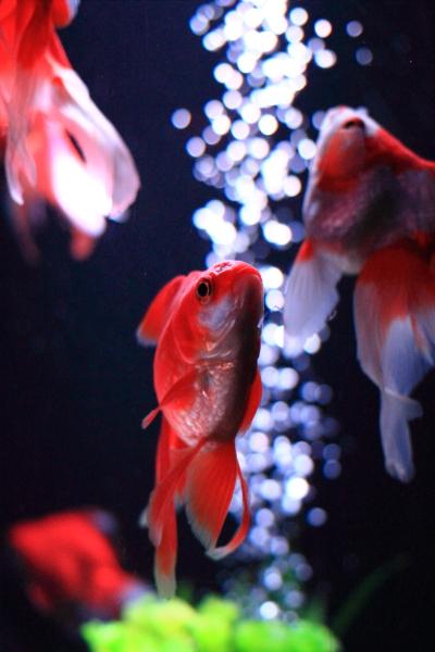 IMG_1404アクアリウム金魚