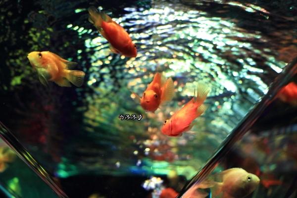 IMG_1323アクアリウム金魚