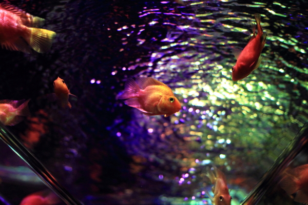 IMG_1324アクアリウム金魚