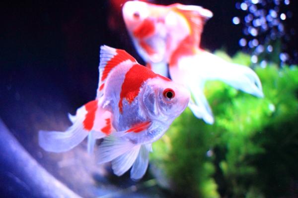 IMG_1405アクアリウム金魚