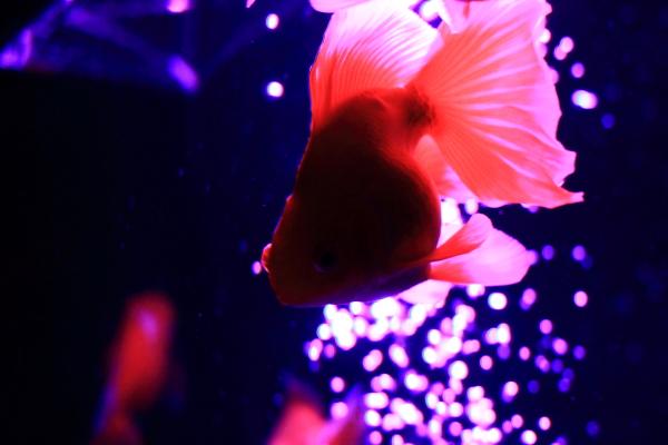 IMG_1417アクアリウム金魚