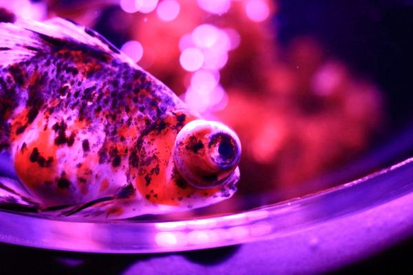 IMG_1377アクアリウム金魚