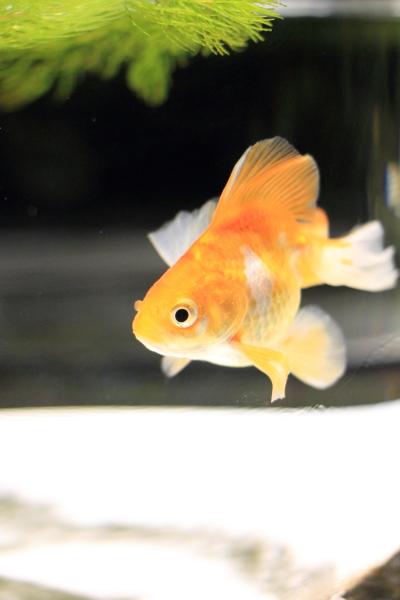 IMG_1268アクアリウム金魚