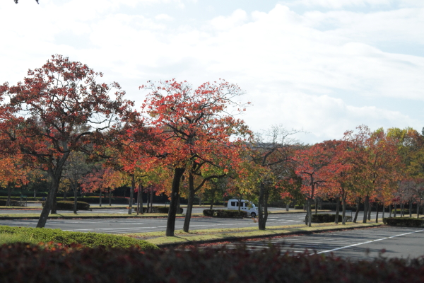 IMG_2957昭和記念公園 銀杏昭和記念公園 銀杏