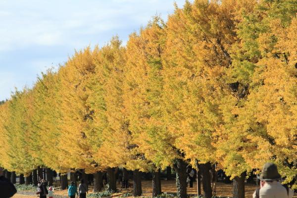 IMG_2959昭和記念公園 銀杏昭和記念公園 銀杏