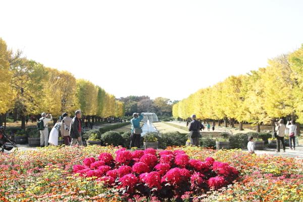 IMG_2958昭和記念公園 銀杏昭和記念公園 銀杏