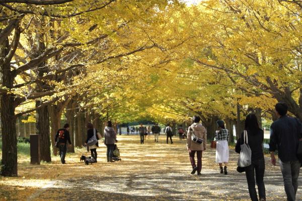 IMG_2961昭和記念公園 銀杏昭和記念公園 銀杏