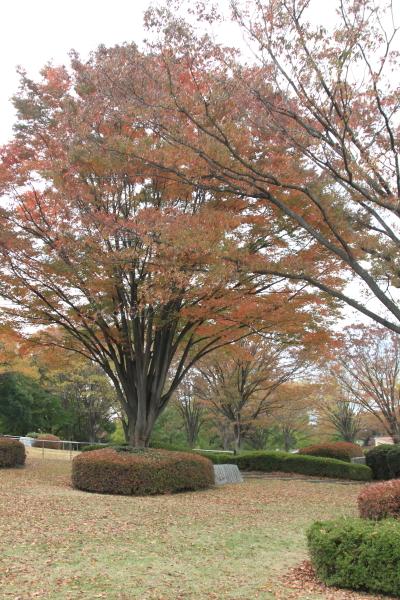 IMG_2998昭和記念公園 銀杏昭和記念公園 銀杏