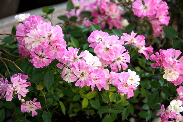 ミニ薔薇 レンゲ咲き1