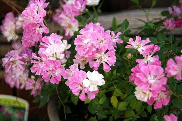 ミニ薔薇 レンゲ咲き