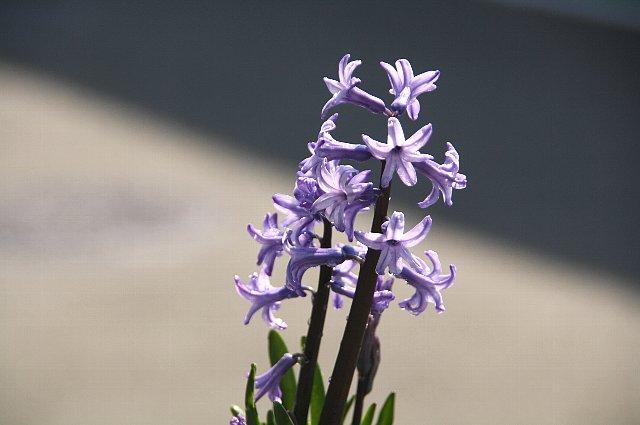 ヒヤシンス スプレー咲き1