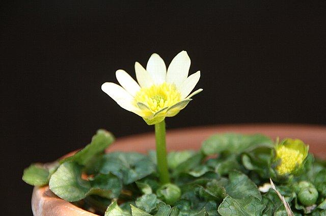 ヒメリュウキンカ 白花