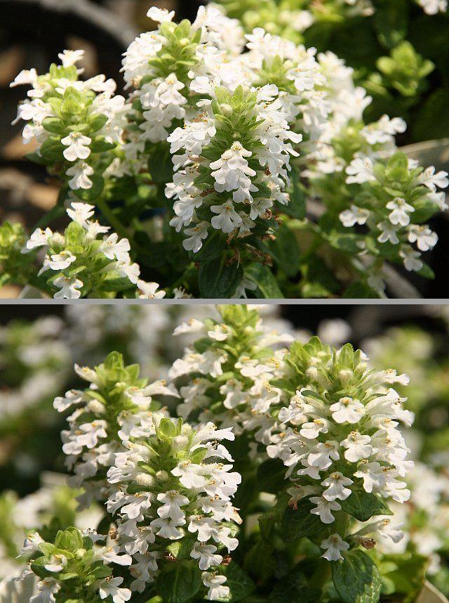 アジュガ 白花1