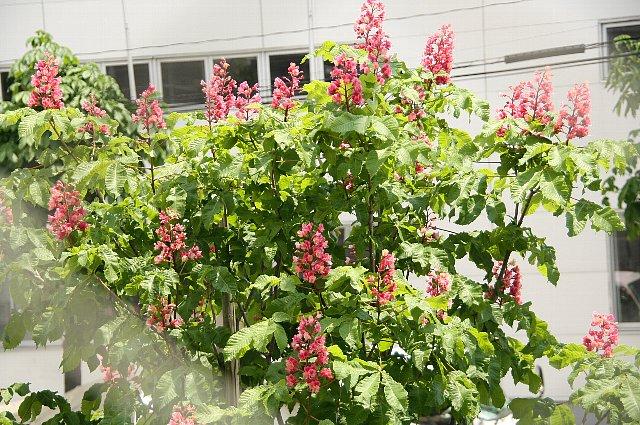 紅花栃の木2