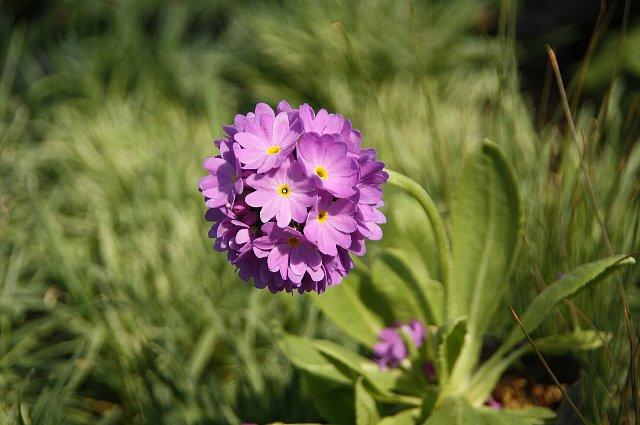 玉咲きさくら草1