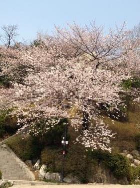 キャンパス内の至る所で桜が沢山咲いていました^^