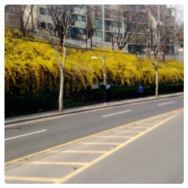 개나리(韓国語:ケナリ=連翹)の花も韓国の春のお花の1つです^^