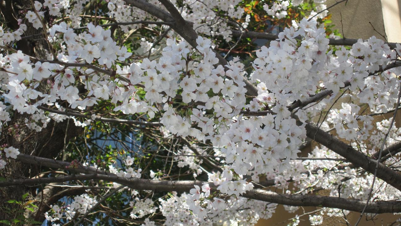 14-03桜③