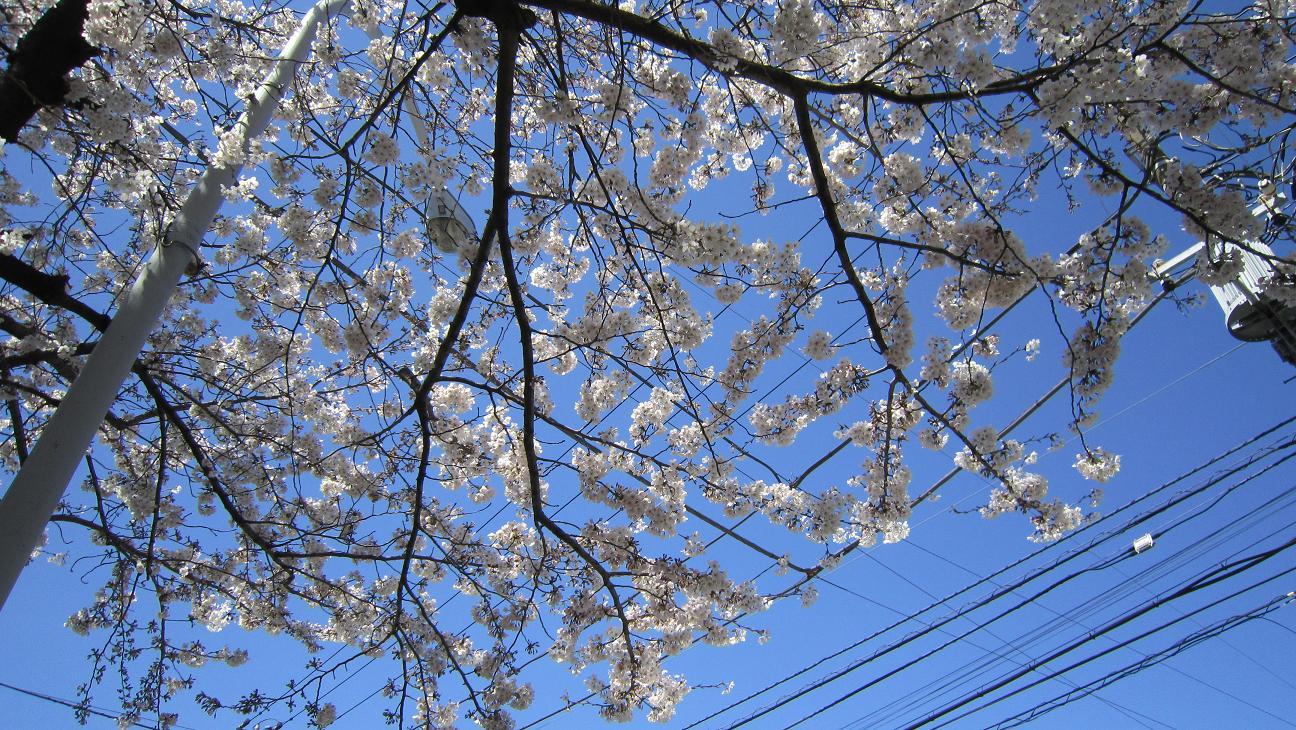 14-03桜④