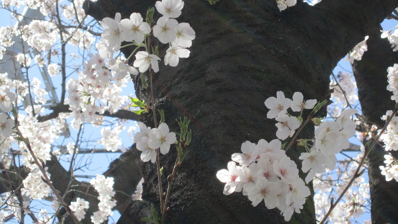 14-03桜⑤
