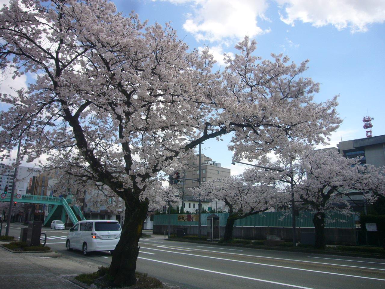 桜通りH26.4.5撮影