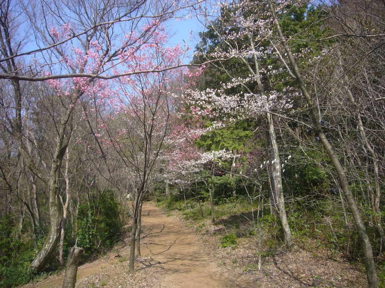 文殊山 桜のトンネル H26.4.9撮影