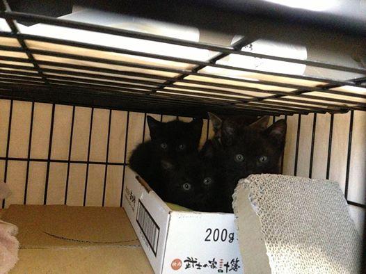 黒猫3匹、キジトラ1匹の兄弟(うち黒猫女子1匹)。推定生後2ヶ月です。
