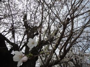 桜2014.3