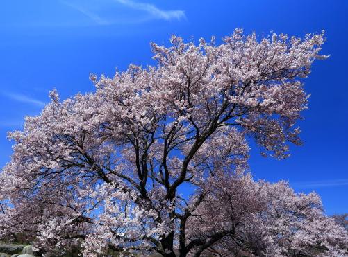 大草城址公園のしだれ桜