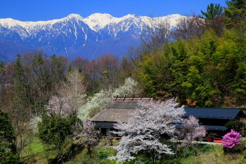 桜と白銀の峰の映える茅葺屋根の民家