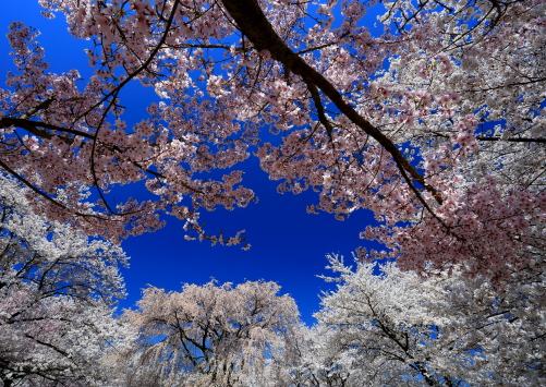 競い咲く桜花