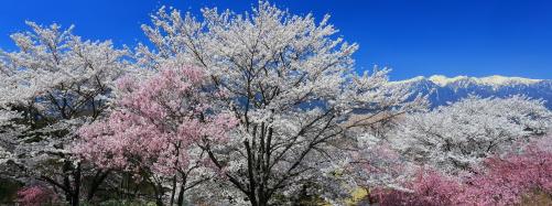 青空に映えるさくら桜と残雪の峰