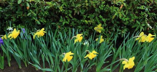 展望談話室の脇に咲くスイセンのお花畑