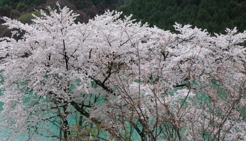 ギャラリーの窓から見た桜