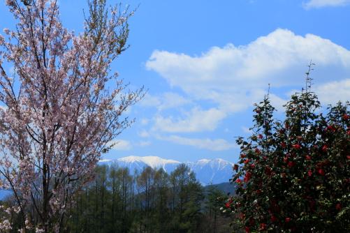 西駒ヶ岳を背後に桜と椿の競い咲き