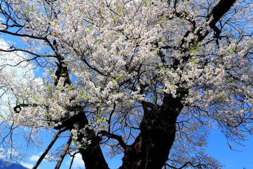 樹齢1000年の権現桜