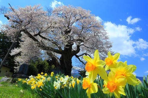 スイセンの花と権現桜