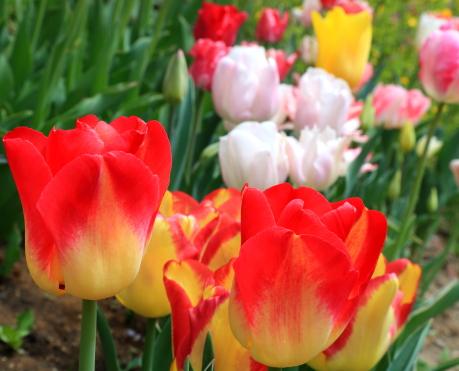 花壇に咲くチューリップ