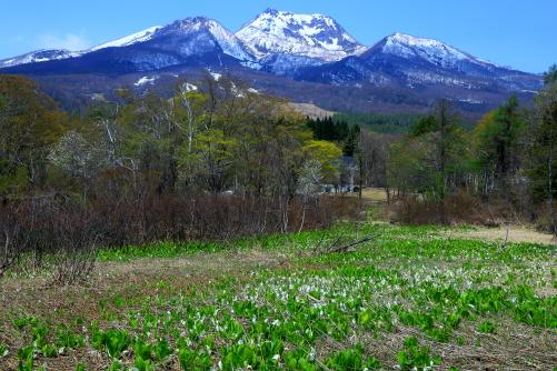 池の平いもり池のミズバショウと残雪の妙高山