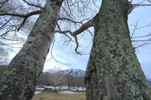 早春の笹ヶ峰・幹の間に高妻山と岳樺