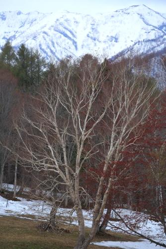 残雪の高妻山とダケカンバ