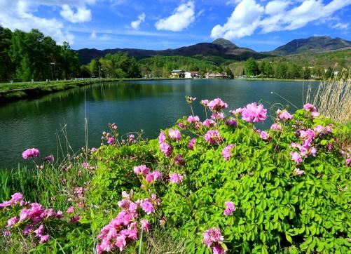 蓼科湖畔に咲くサツキと雲抱く蓼科山