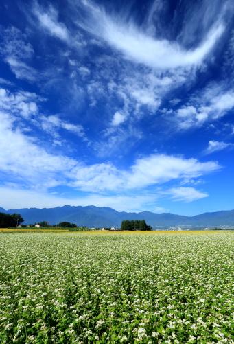 青空に雲と蕎麦畑