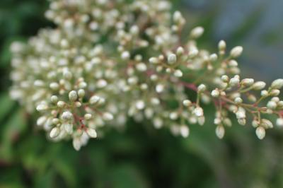 白い水の精のようなお花(かぜっぷさん)