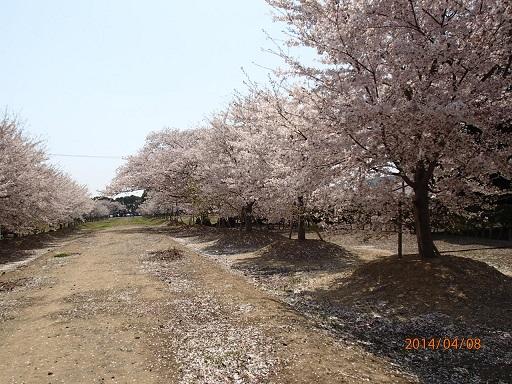 P4080513sakura.jpg